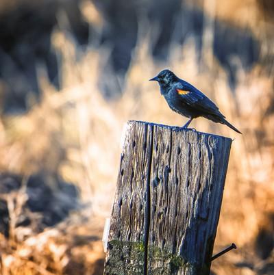 Red Winged Blackbird & tha Nail