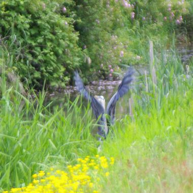 Up from a pretty ditch, wings in flight mode, comes a Heron