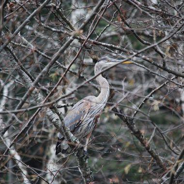 Hidden Heron - Englishman River