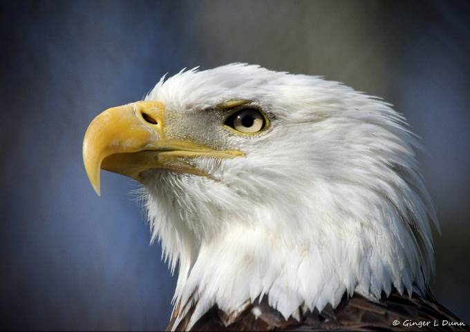 Bald Eagle by GLDPix - Just Eagles Photo Contest