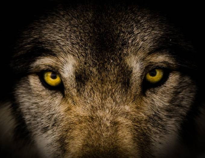 I've Got My Eyes On You by mgirard - Wolves Photo Contest