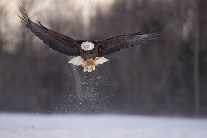 Lunch time by amandabeersphotography - Just Eagles Photo Contest