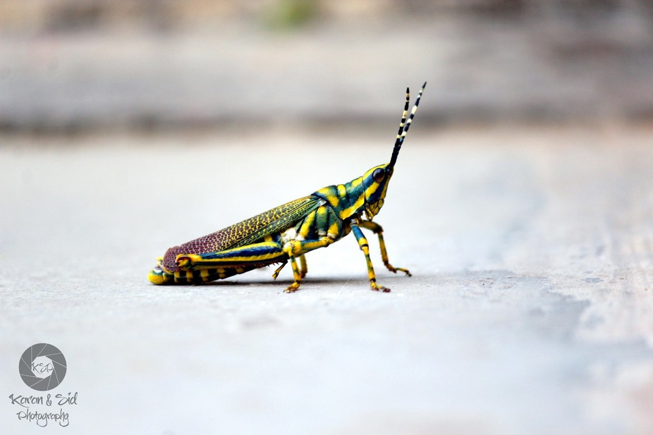 Colorful Grasshopper