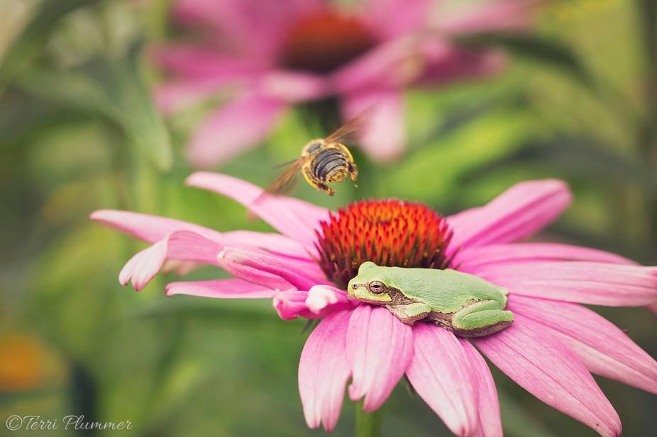 Bee and tree frog on Coneflower