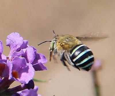 blue striped bee