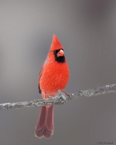 Northern Cardinal on branch