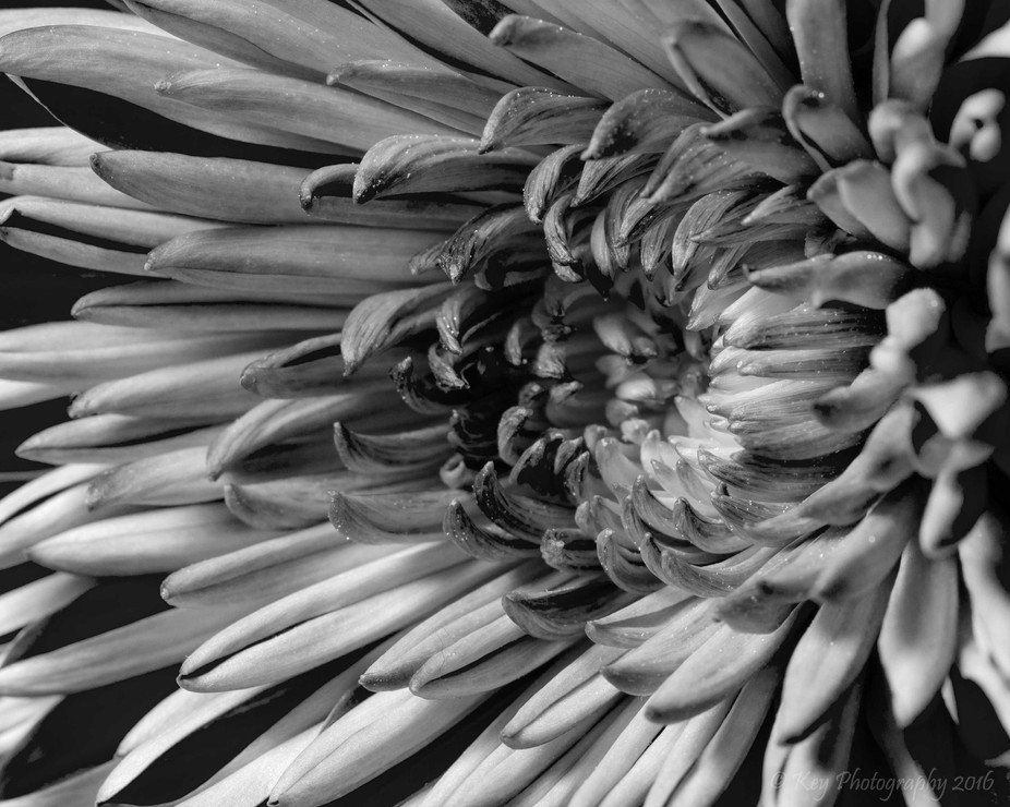 Flower Close UP B&W_DSC4795