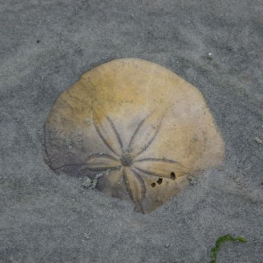 8 June 2008 SAND DOLLAR ON QUALICUM BEACH