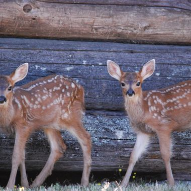 Twin baby deer at very old Church in Parksville on Vancouver Island June 2015