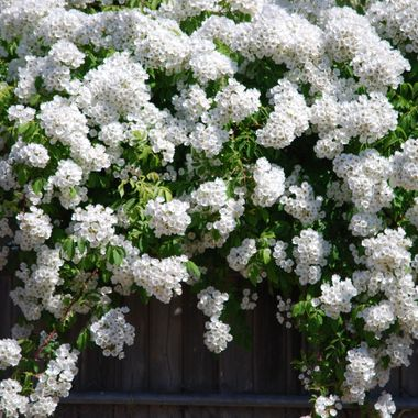 A shawl of white flowers hanging over a fence in Parksville near high school