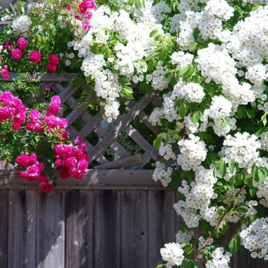A shawl of white flowers hanging over a fence in Parksville near high school & Winchelsea Elementary Schools June 2015