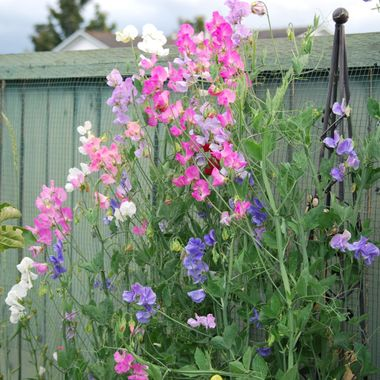 Sweet Peas, Banks ave, Parksville, BC 2014