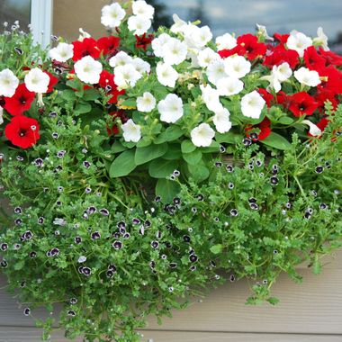 Petunias in Red & White - Parksville, BC