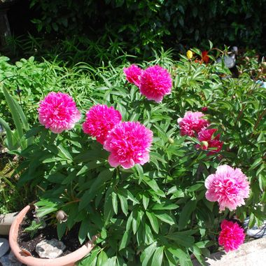 Peonies in Parksville May 2012