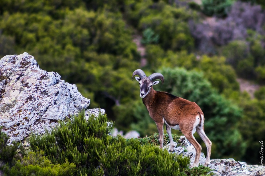 Wild sheep of the mountains of Sardinia