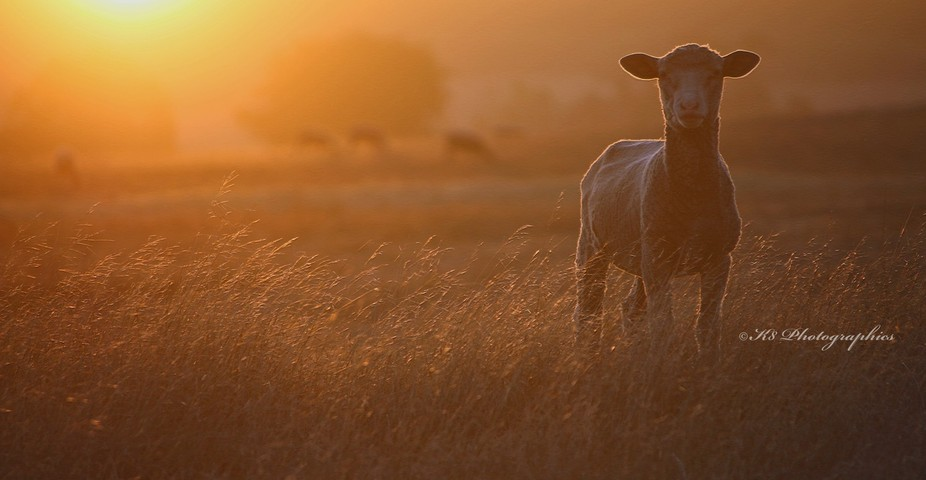 Just sometimes sheep work with you and then Mother Nature throws in some natural light