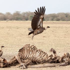 The power of these massive vultures is truly amazing.  Having seen come to land near the big carcasses on the African planes was one thing, but t...