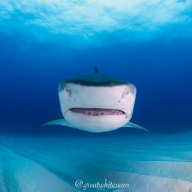 Tiger shark heading straight for me in the Bahamas