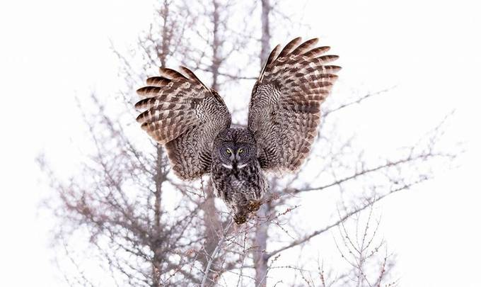 Great Gray Owl by wild_man_photo - In the Center Photo Contest