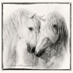 The white horses of Southern France