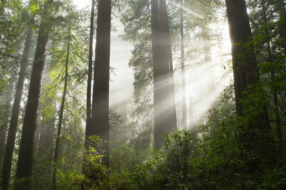Sun beams in the fog at Del Norte Coast Redwoods State Park.
