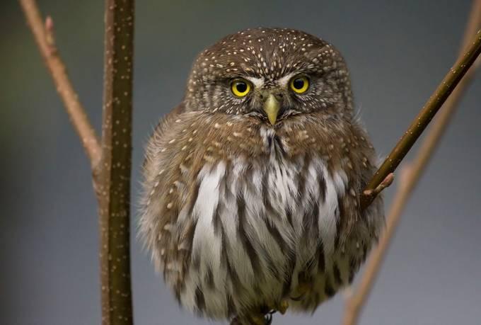 Pygmy owl by KMHalaska - Only Owls Photo Contest