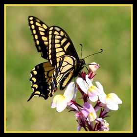 Beautiful butterfly on flowers within square frame