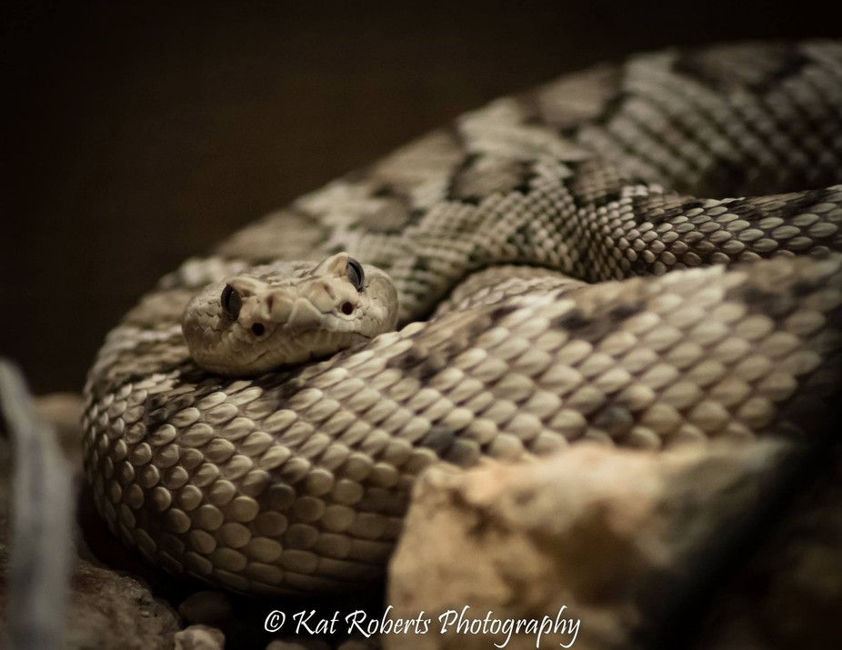 Coiled and waiting, a white rattlesnake is deadly as she is beautiful.