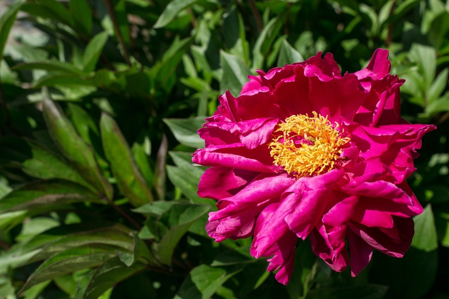 or peony, spell it how you will