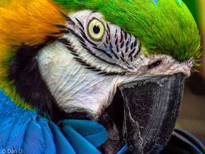 Blue and Gold Macaw Close-up