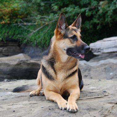 German Shepherd female - French Creek