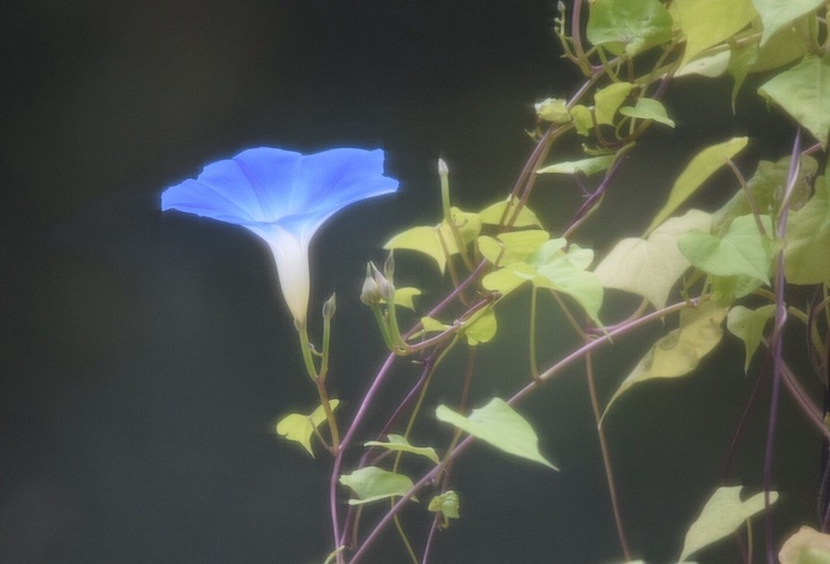 Morning Glory open to the sun
