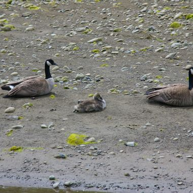 Canadian Goose Family on the Estuary in San Parielle, Parksville, B.C. on Vancouver Island  - 23rd May 2007