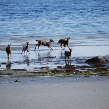 5 Deer Caught on beach downtown Qualicum Beach, B.C. - 2012