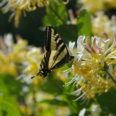 Butterfly on my Honeysuckle - 20 June 2007