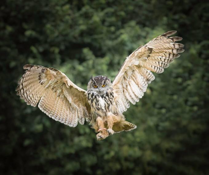 Ready to strike by Dickiebird - Beautiful Owls Photo Contest