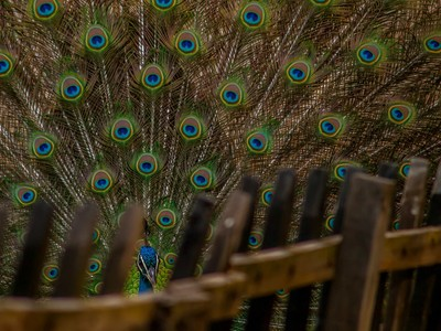 Hide and seek with Peacock