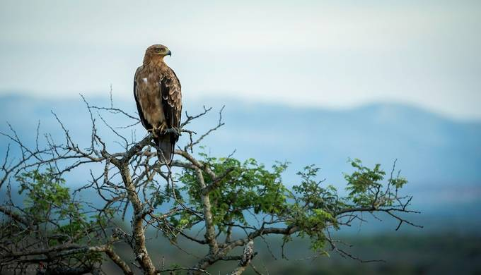 Tawny Eagle by Alannixon - Animals And Rule Of Thirds Photo Contest