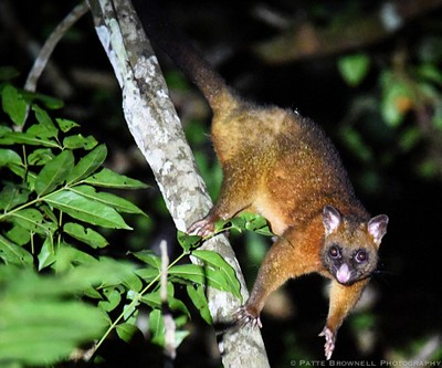 Copper Possum