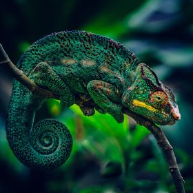 A colorful chameleon.  Madagascar.