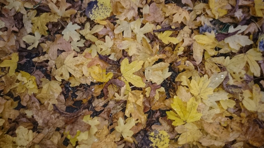 Amber leaves in autumn