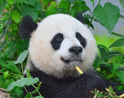 Panda with Bamboo Snack