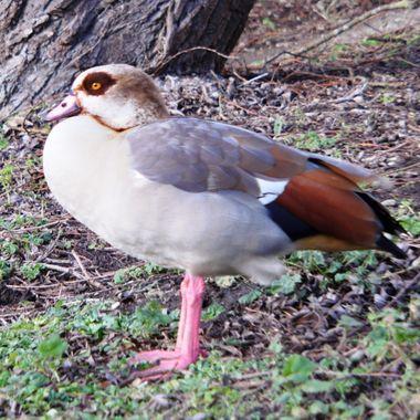 Egyptian Goose on the Norfolk Broads, UK.