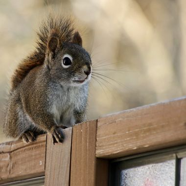 A red squirrel on a wooden privacy screen.