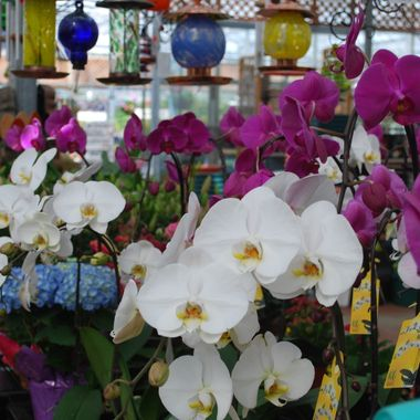 ORCHIDS - in store - May 2009