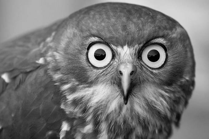 Owl BW 1 by Mission_Man - Animal Faces In Black And White Photo Contest