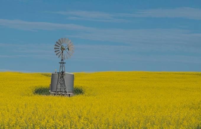A sea of yellow by aarronralstonmcdonald - Energy Photo Contest