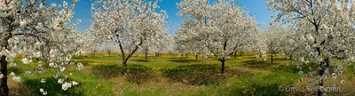 Spring Cherry Orchard