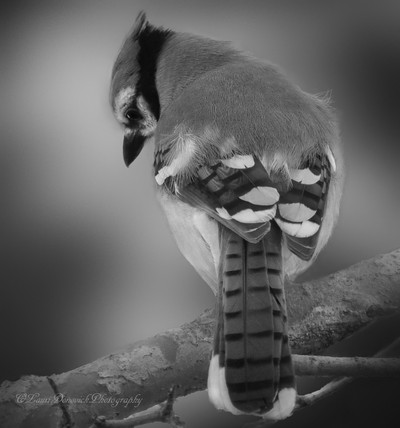 Details of a Bluejay