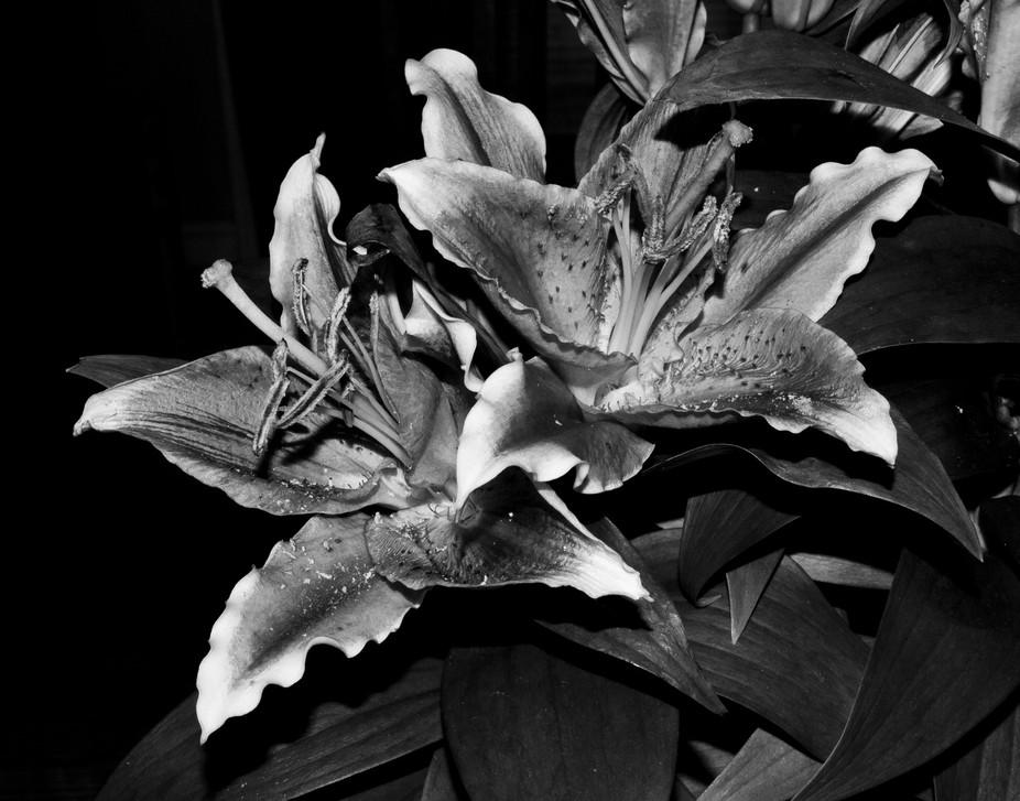 Oriental Lilies In BW
